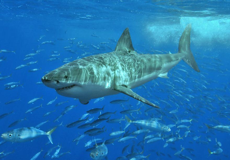 Bull Shark Carcharhinus leucas (Valenciennes, 1839) in ... |Worlds Largest Bull Shark